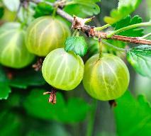 Przepis na sok pitny z agrestu i czarnej porzeczki - bogaty w witaminy