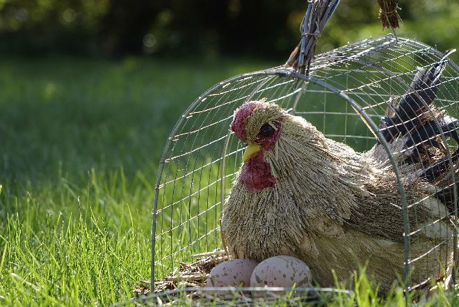Czym różnią się jaja ściółkowe od jaj od kur z wolnego wybiegu?