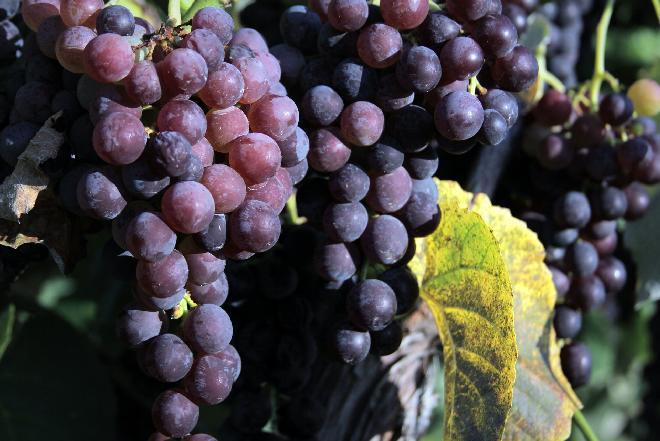 Winogrona - jakie mają wartości odżywcze i właściwości zdrowotne?